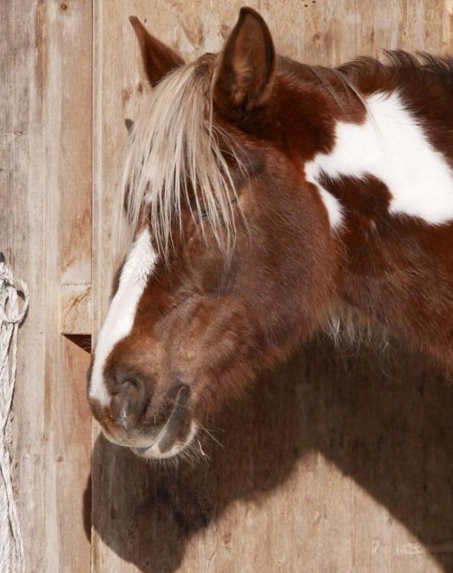dösendes Pferd